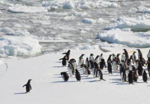 Einsamer Pinguin auf dem Weg zur Gruppe.